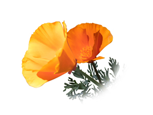 Image of California Poppies used in original illustration for California Quarter Design Submission, A Golden Moment by David Biagini.